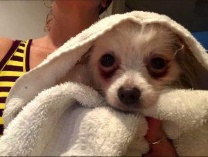 Lisi Treating Dog Eye Stains